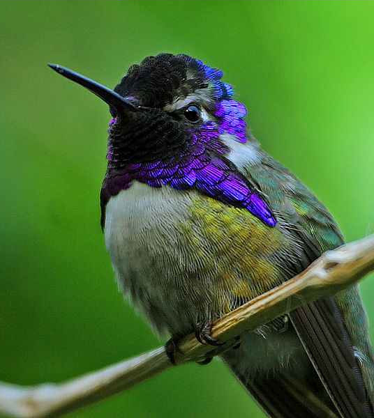 A Costa's hummingbird.