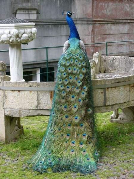A Peacock at the Botanical Gardens in Madeira. Photo by  Amanda Grobe.