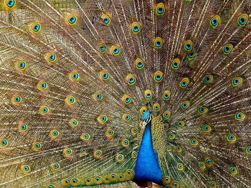 Photo of a peacock by Jebulon.