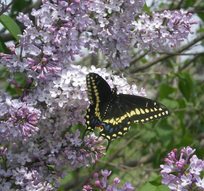 Lilacs and swallowtail