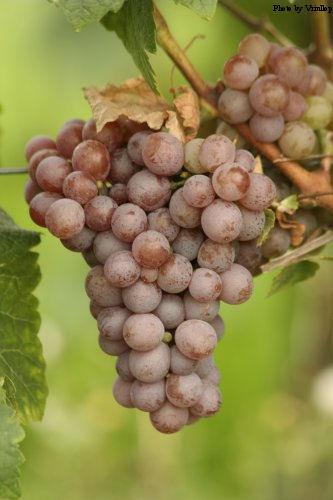 German Gewürztraminer grapes