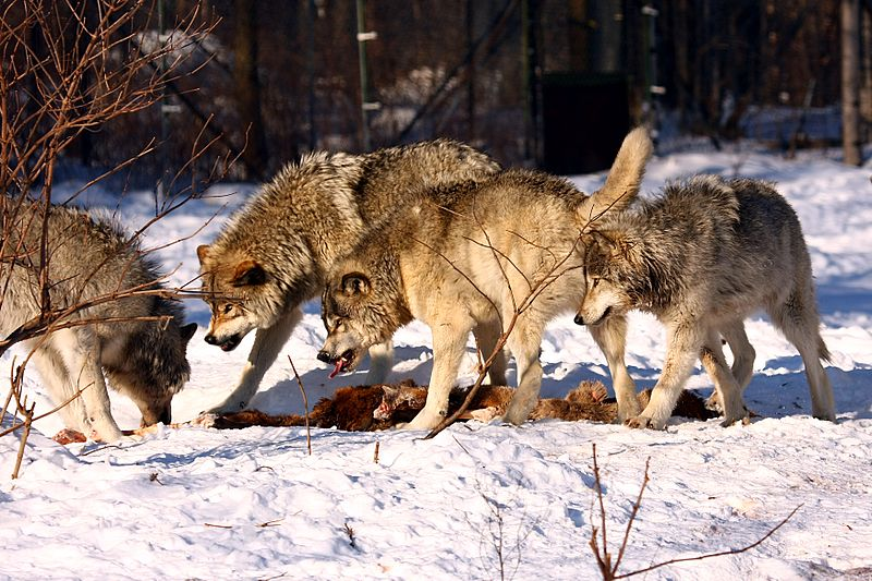 Photo of Timber wolves fighting by Martin Cathrae.