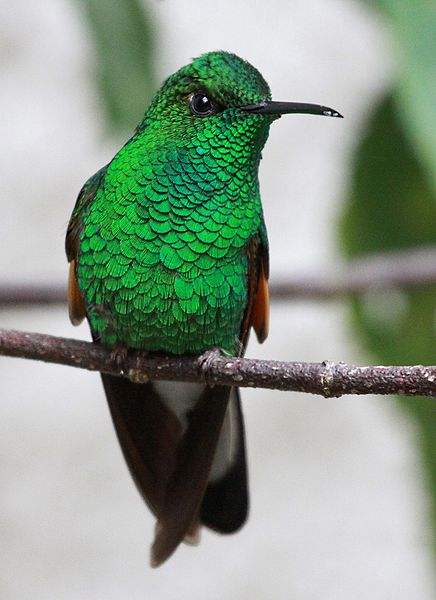 Photo of the Stripe-tailed Hummingbird by Basar.