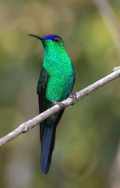 Photo of a Violet-capped Woodnymph Hummingbird by Dario Sanches.