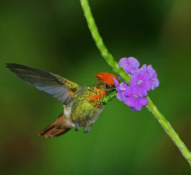Photo of a Tufted Coquette Hummingbird by Steve Garvie.