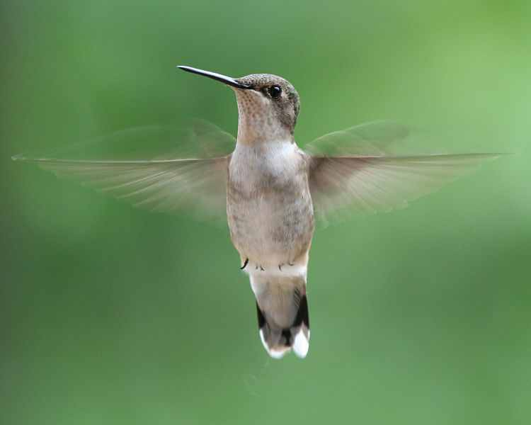 Photo of a female Ruby-Throated Hummingbird in flight by John Kees.
