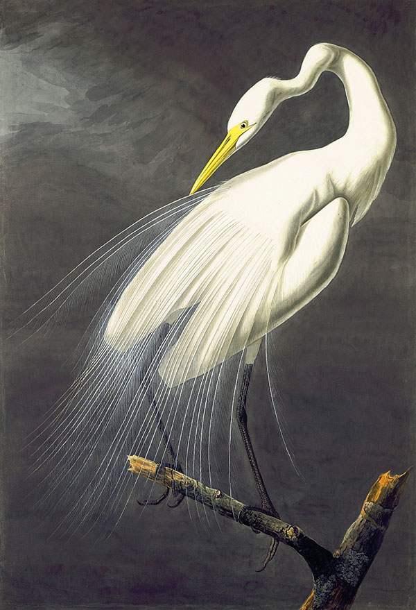 Great Egret (Ardea alba), 1821, Watercolor by John James Audubon.