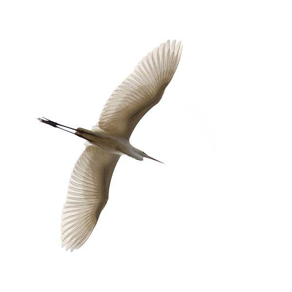 Photo of a Great Egret in flight by Harald Hoyer.