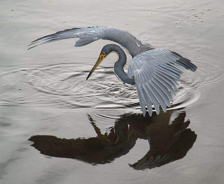 Photo of a Tricolored Heron (Egretta tricolor) fishing, by using its wings to create shade. Photo taken by Chris Harshaw.