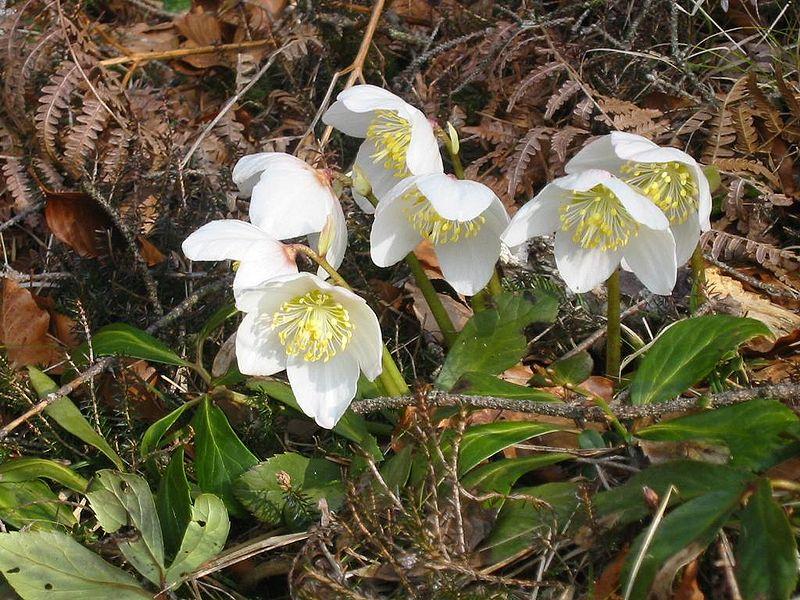 Helleborus niger, aka Christmas Rose.